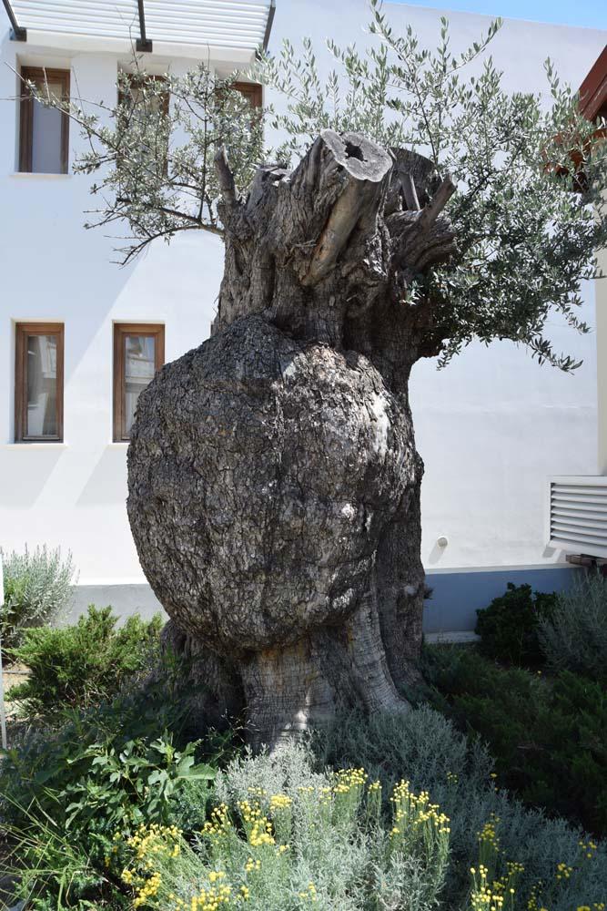 old_olive_tree